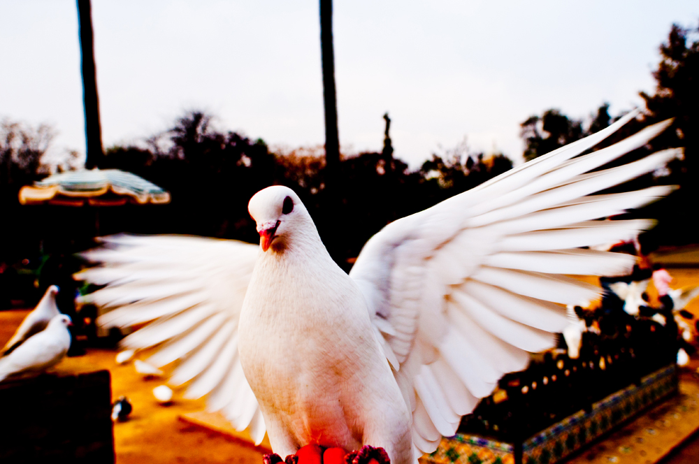 White pigeon Spain 2.jpg