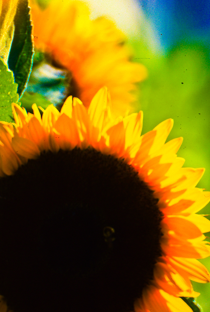 sunflower-enhanced-web.jpg
